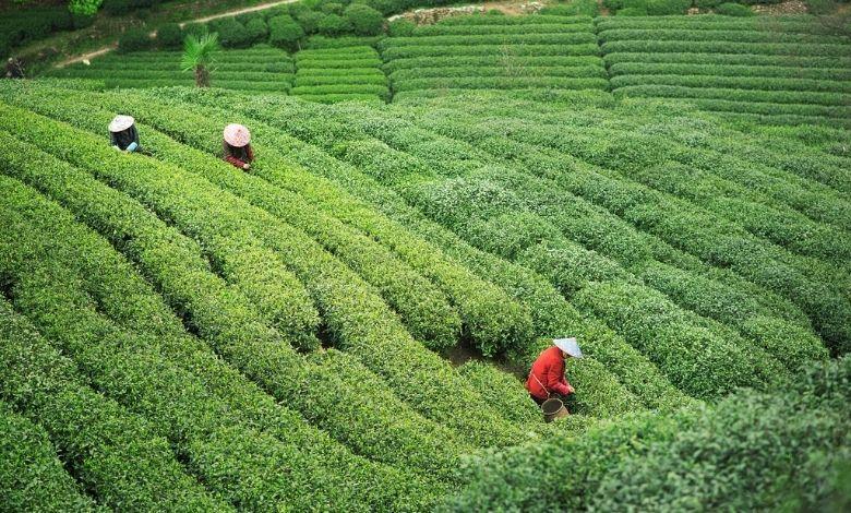 Чай Лунцзин лучше всего собирать перед фестивалем Цинмин в начале апреля